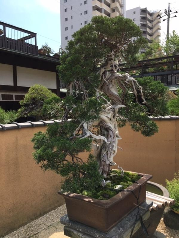 Bonsai Museum at Koiwa in Tokyo