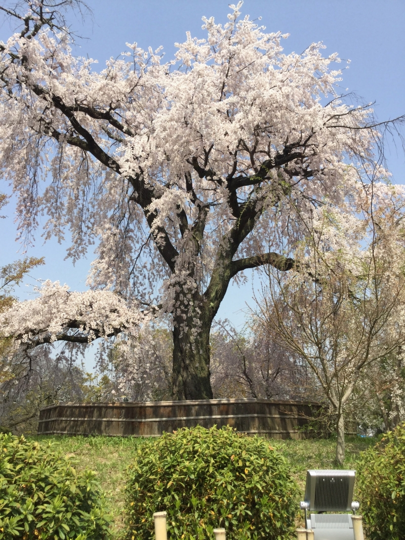 Cheery blossom at Maruyama park