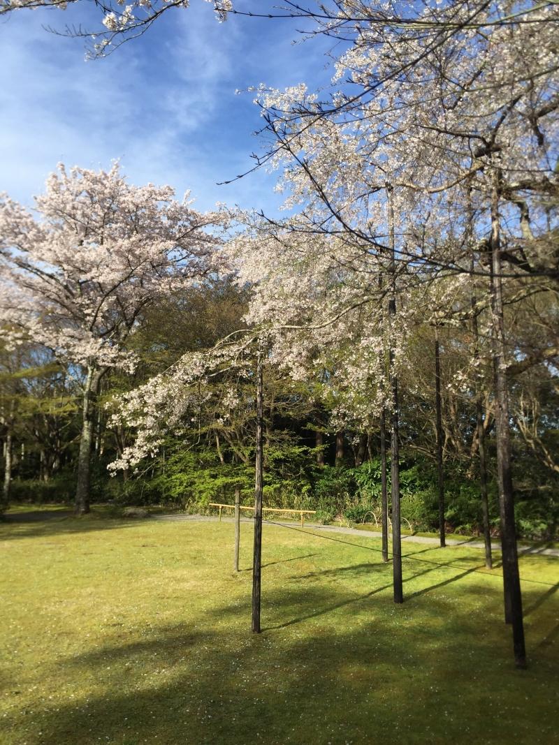 Cherry blossoms are called Sakura in Japanese