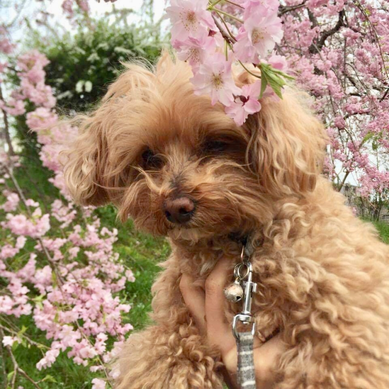My dog and cherry blossoms