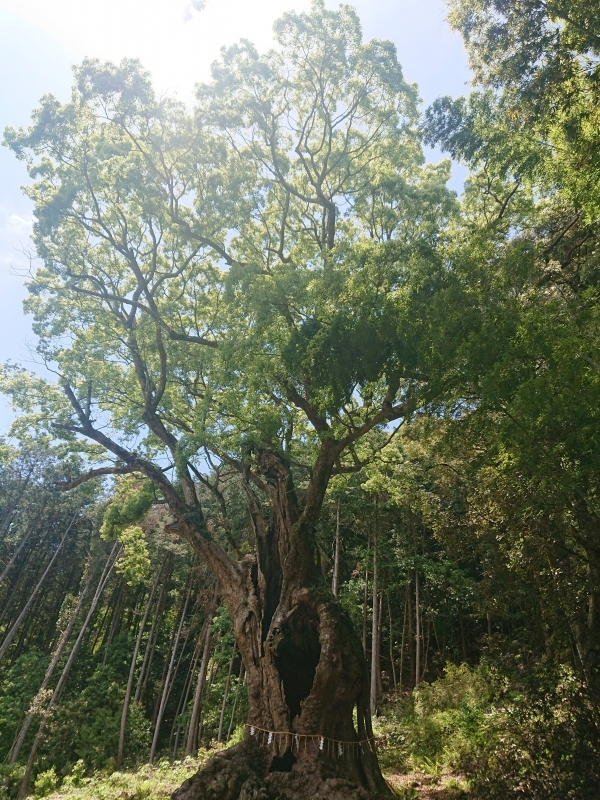 Sacred Camphor Tree in Takeo