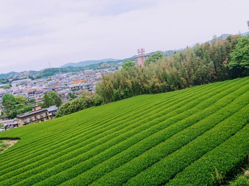 Tea plantation in Ureshino