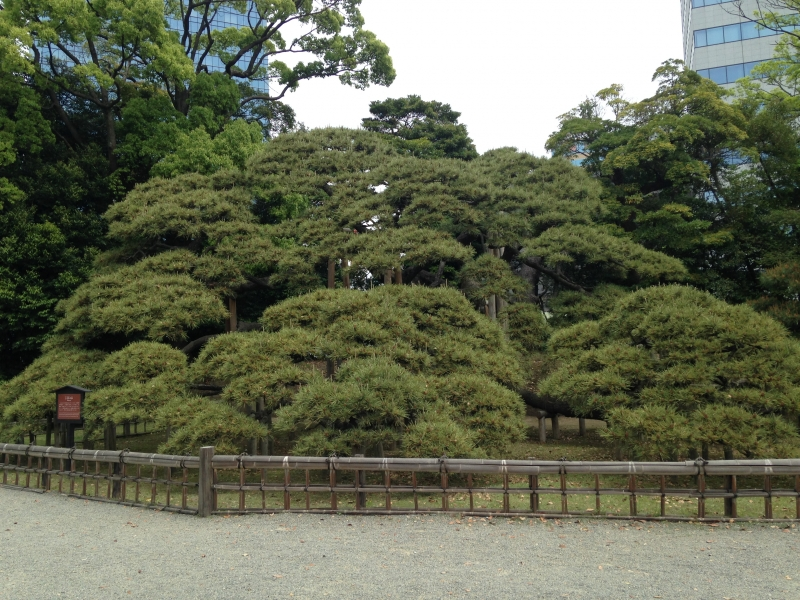 Hama Rikyu Garden This pine tree was planted 300 years ago to commemorate the great renovations made to the garden by the 6th shogun Ienobu. The thick branches spread out low, still keeping a proud imposing view.