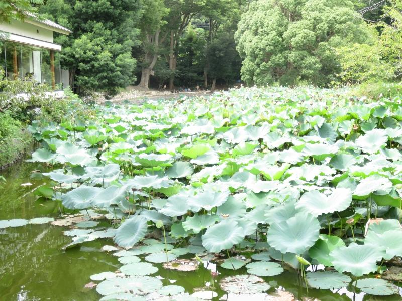Lotus pond of Tsurugaoka Hachimangu Srine