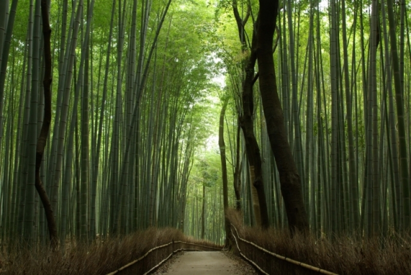 Bamboo Grove in Arashiyam