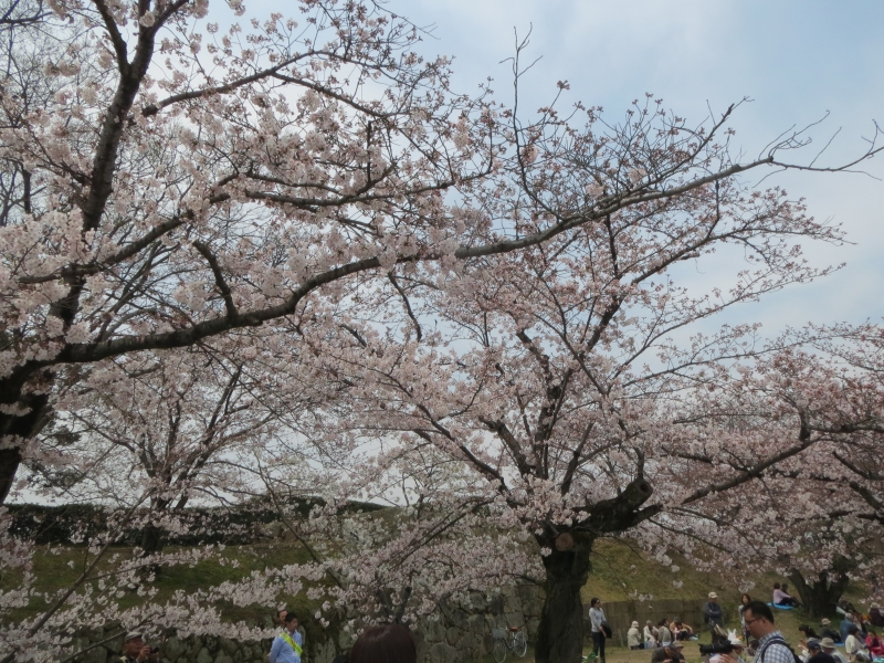 A cherry blossom in full bloom