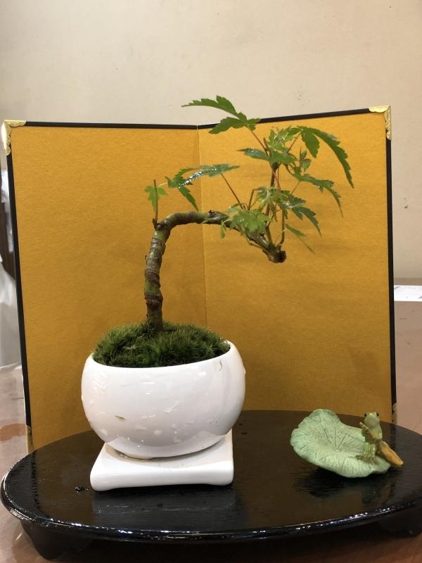 My first bonsai