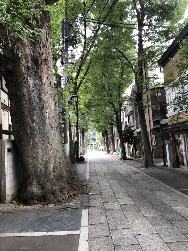 Japanese robust Zelkova trees growing along the road to the shrine