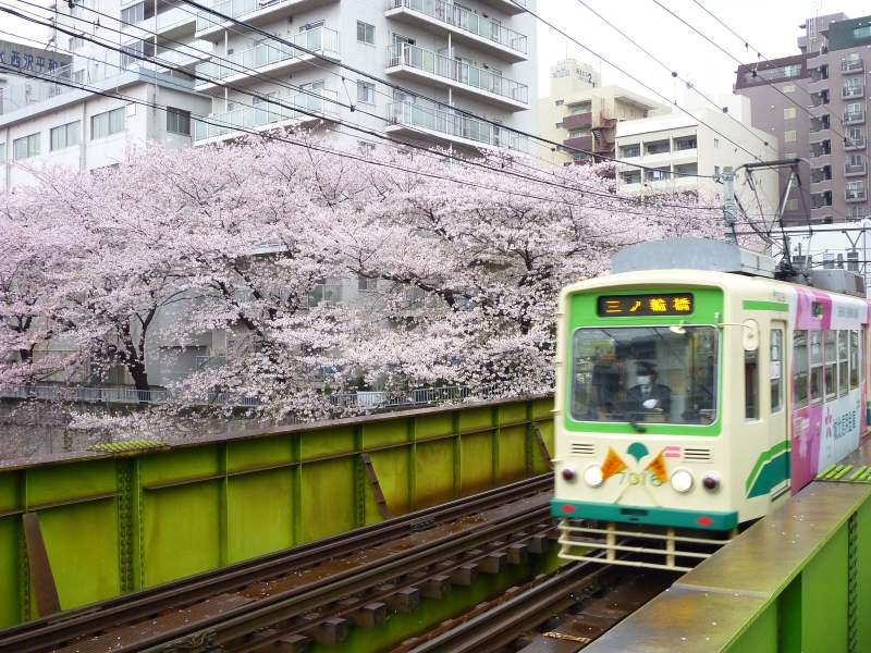 streetcar and cherry blossoms in spring