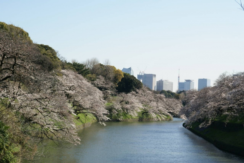 Chidorigafuchi at the Imperial Palace in spring