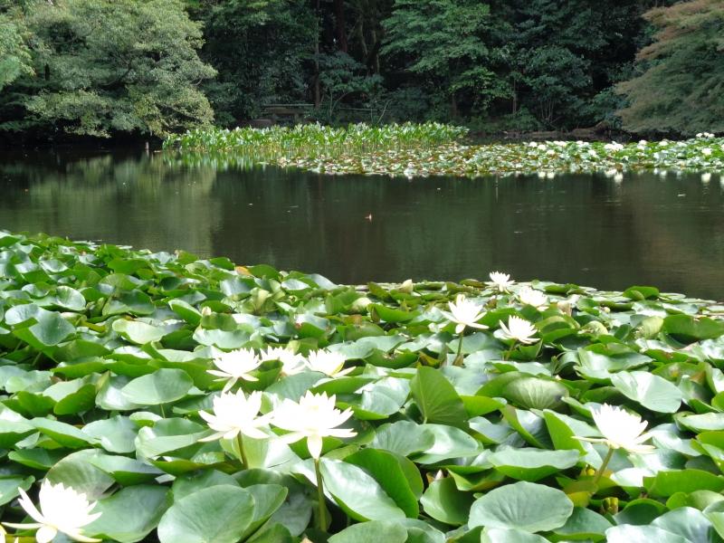 Lotosblüte im Teich, Meiji Schrein