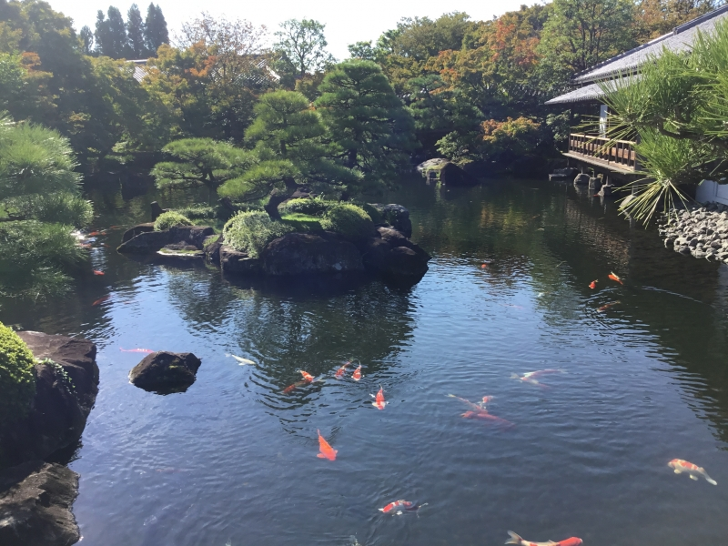 Many gorgeous carps found in the garden pond of Samurai residence