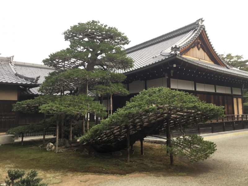 Rikushu-no-matsu (pine tree) in Kinkakuji temple which survive more than 600years