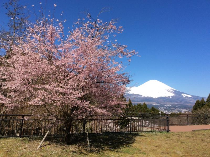 Mt.Fuji y flores de cerezo