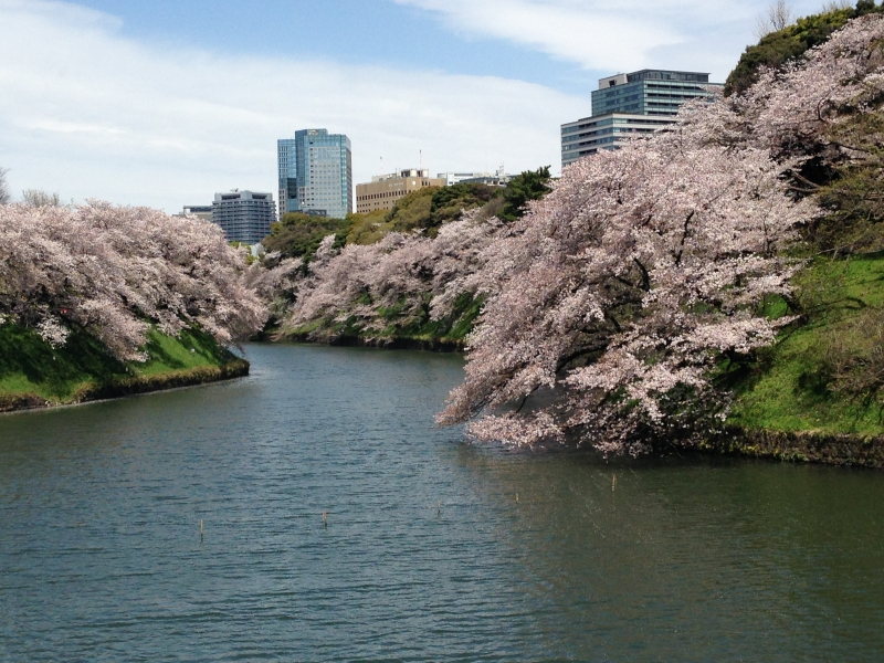 Beautiful Cherry blossoms at Imperial Palace