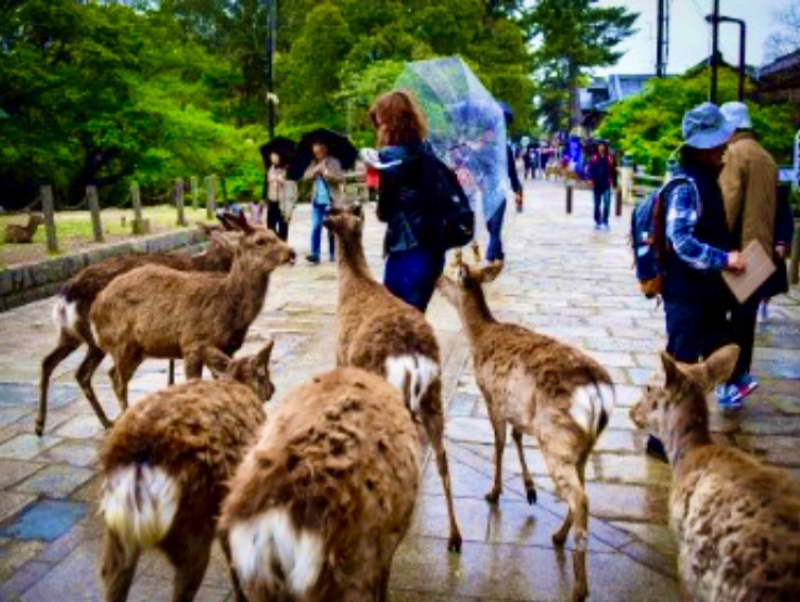 At the Nara park you will meet an uncountable amount of deer, the symbol of Nara and a very mythical animal in Japanese culture. You will be able to touch them, feed them, play with them, and take as much pictures as you want!