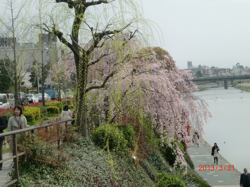 Cherry blossom in full bloom from late March to eraly April