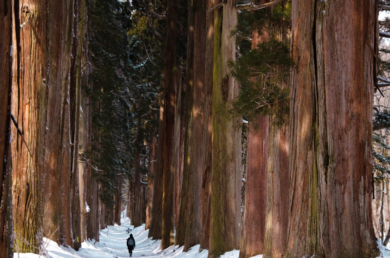 400 years old Japanese cedar trees lined along the approach to Togakushi shrine.