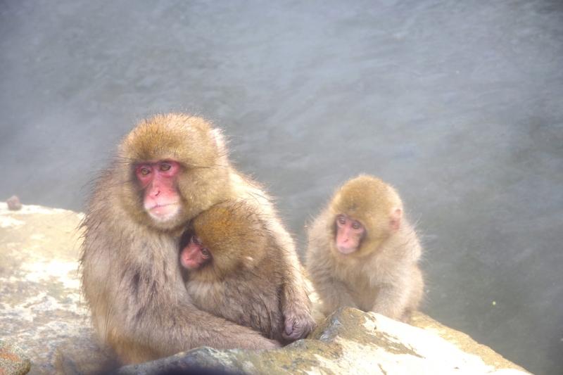 Snow Monkeys love hot spring :)
