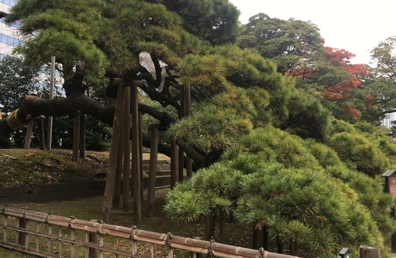 300-year-old pine tree (at Hama-Rikyu Gardens)