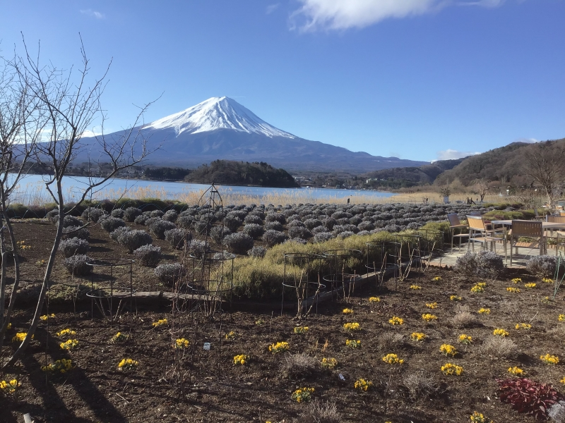 Mt Fuji with winter flowers