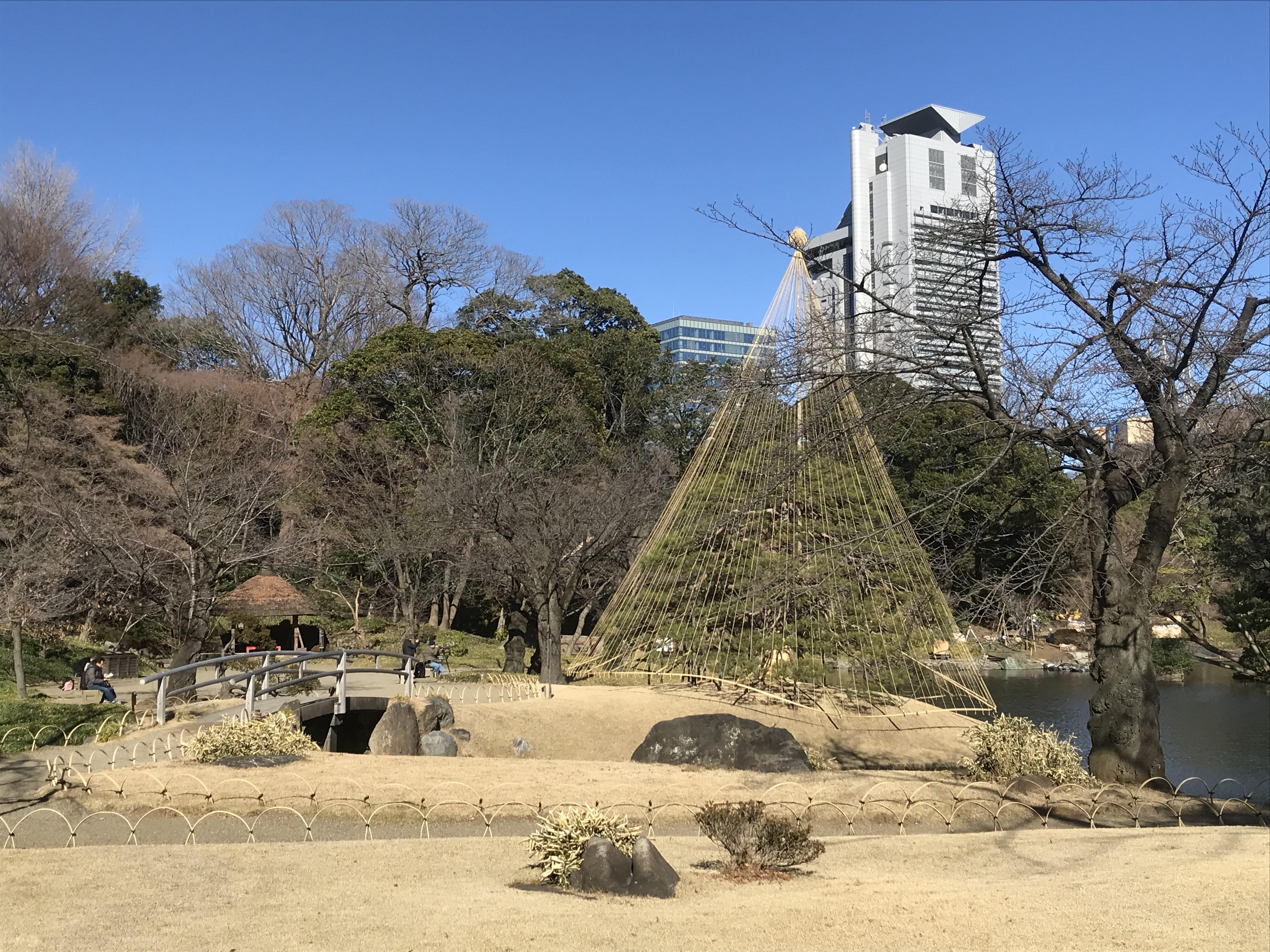 A pine tree decorated for winter scenery in Koishikawa Korakuen