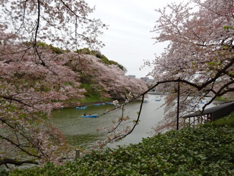 Cherry blossom at Chidorigafuchi