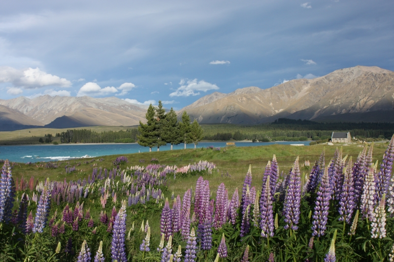 Lake Tekapo in spring when the lupins are in full bloom