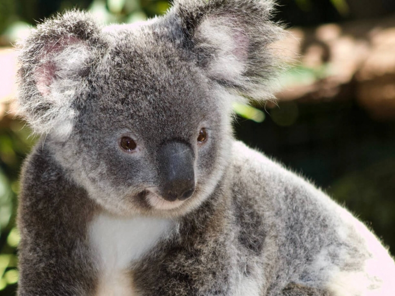 See all your Australian animals - including koalas!