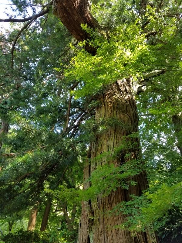 The Japanese umbrella-pine tree