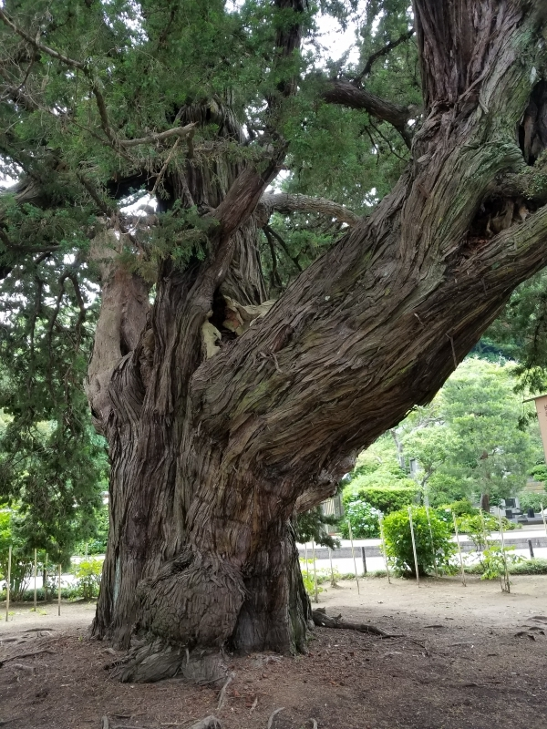 Juniper trees that the founder planted 750 years ago.