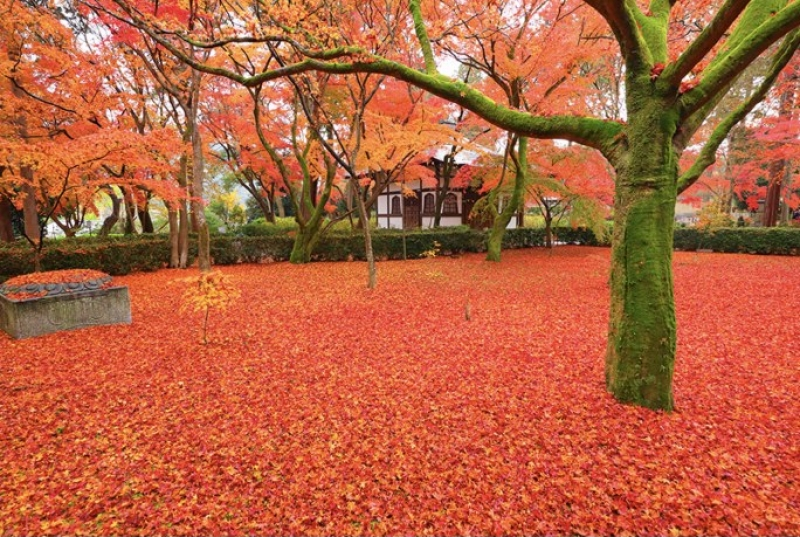 Fall colors like a red carpet at Shinnyodo Temple