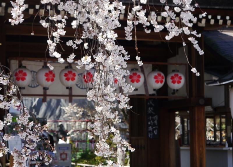 Cherry blossom at Hirano Jinja Shrine