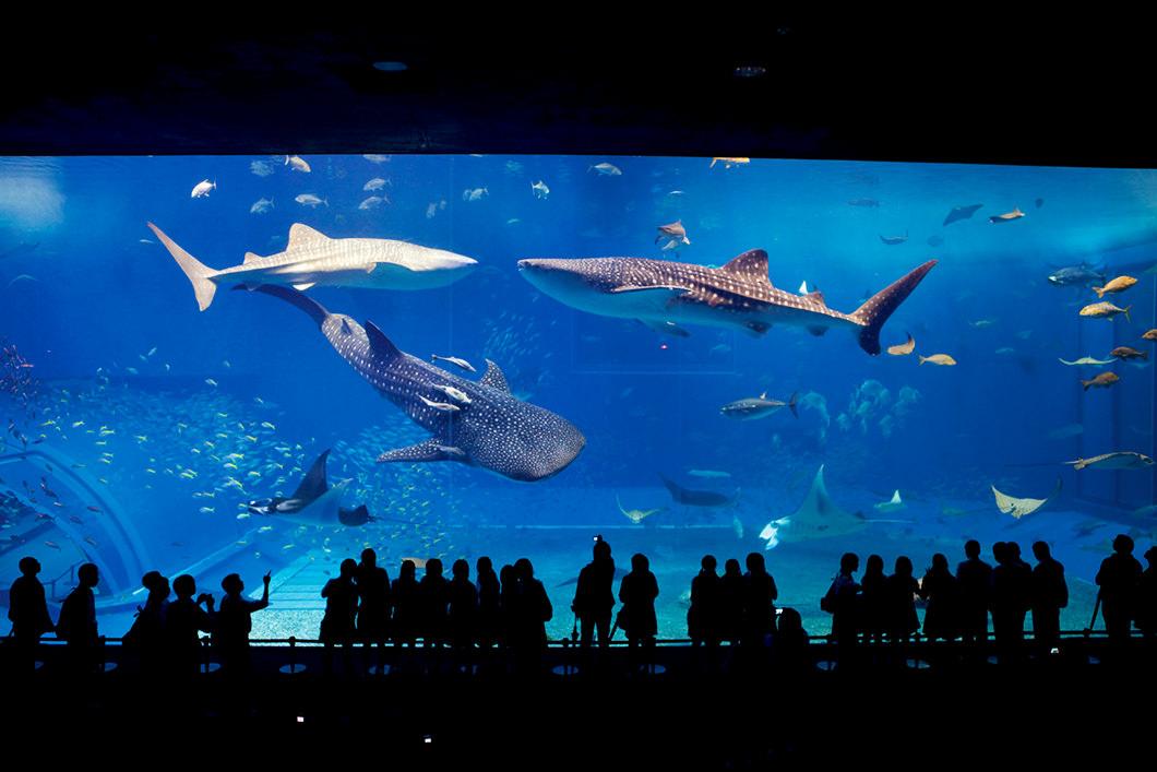 CHURAUMI Aquarium's KUROSHIO water tank You can see whale sharks, and manta rays.  Free dolphin show is taking place 5 times a day near Aquarium.