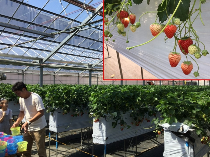 E3. Strawberry picking (April and May only, need reservation)
