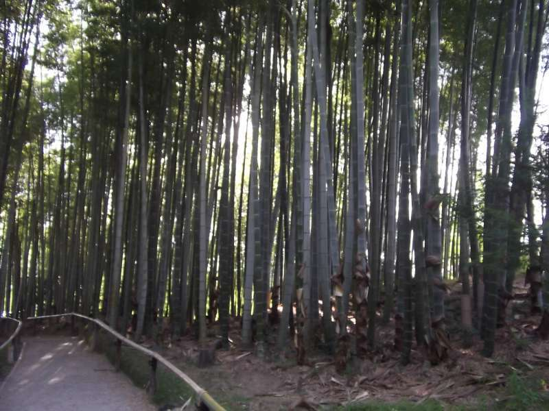 Bamboo grove in the compound of Kodaiji temple.