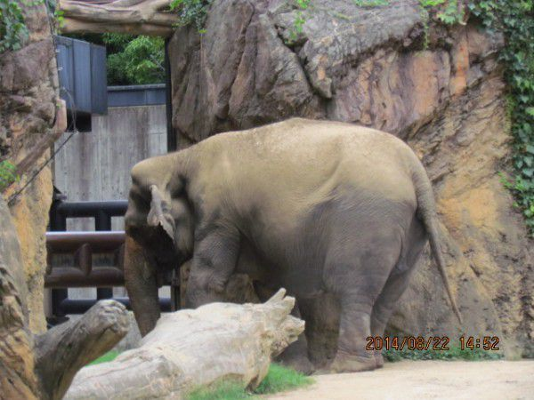 an elephant  at Tennoji zoo