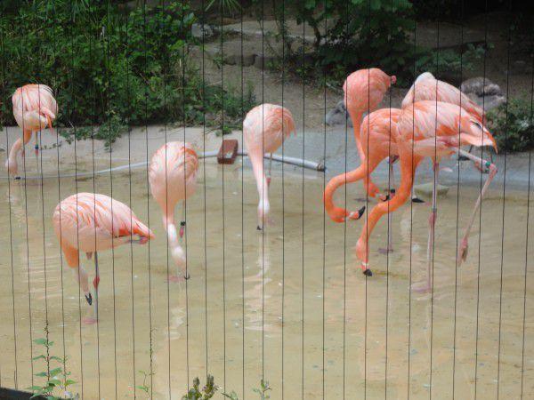flamingos  at Tennoji zoo