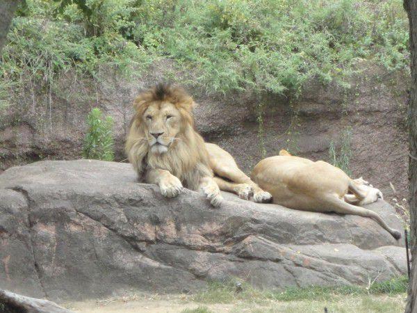 lions  at Tennoji zoo