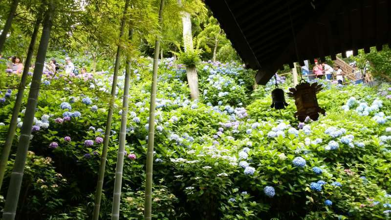 Hasedera Temple: Many hydrangeas come into full bloom from June through July.