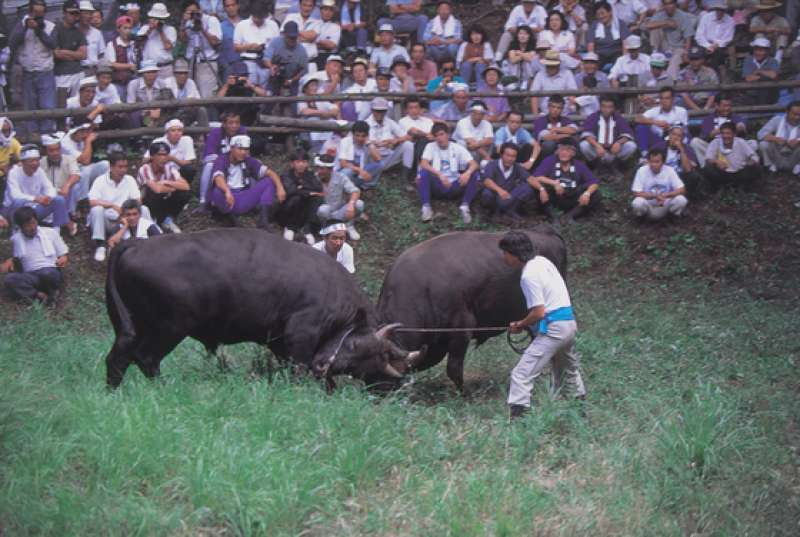 Bull Sumo: It is said to have introduced to Oki to please Emperor Gotoba who was exiled here in the 13th century. Traditional and official tournaments are held on 15th August, 1st September and 13th October. If you are unable to see the official tournaments, you can experience a taste of Bull Sumo at the exhibition facility throughout the year.