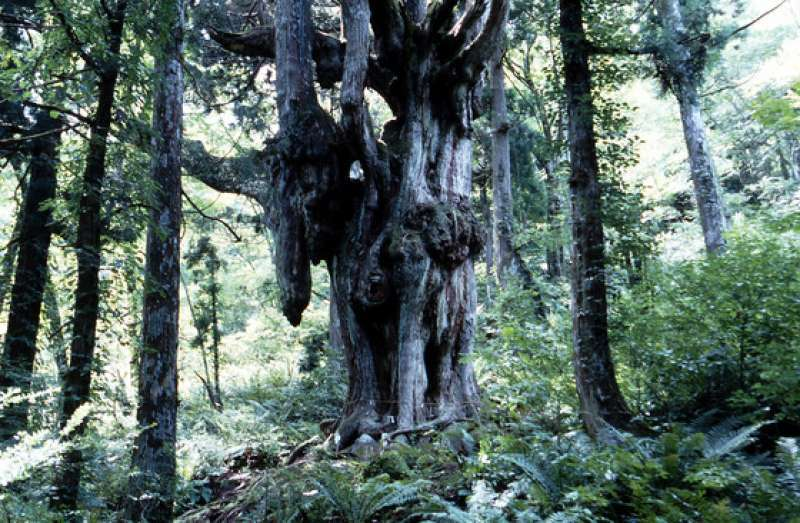 Chichi-sugi (Japanese cedar): This mysterious tree is in the deep forest of Dogo Island. It is 800 years old and 30m tall. It has 15 unusual drooping roots. Local residents call it